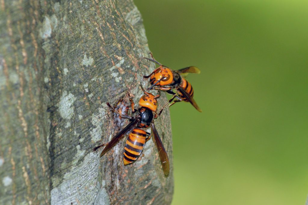 murder-hornet-giant-asian-hornet