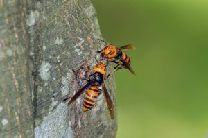 Reports Show Murder Hornet in U.S. As Early As 2019